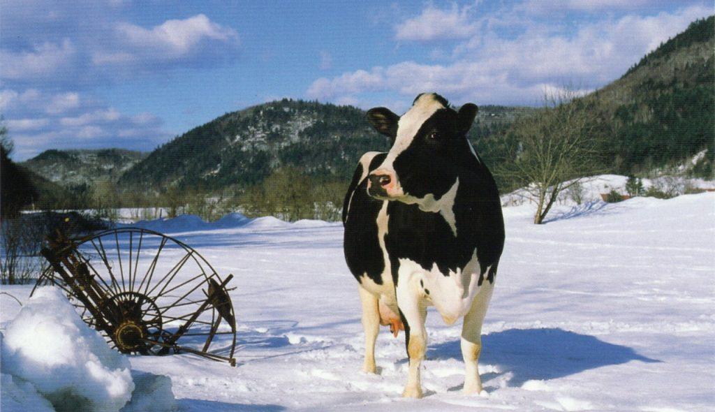 mucca frisona nella neve