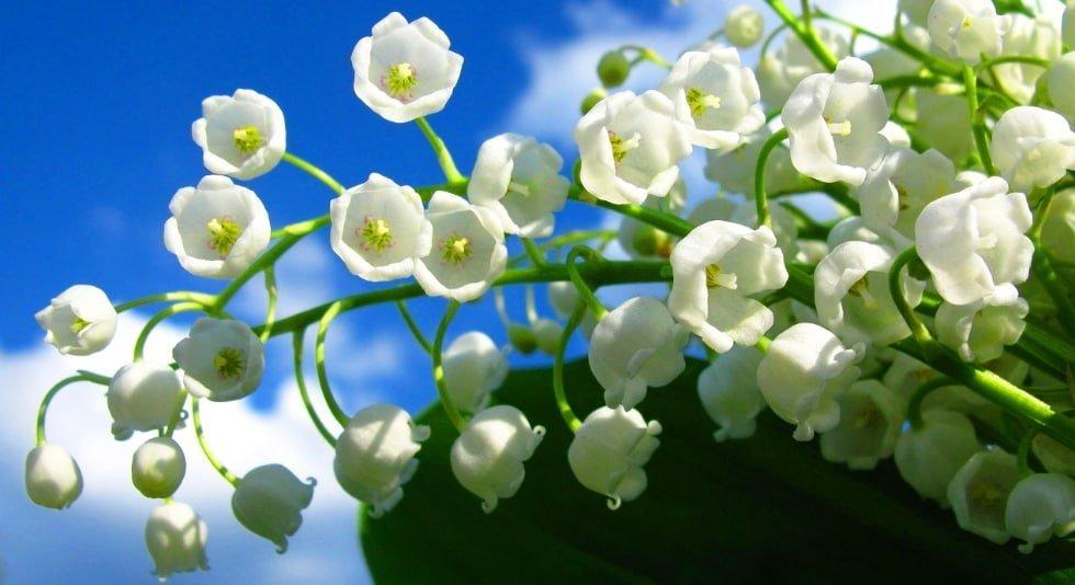 mughetti in fiore