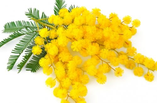 ramo di mimosa 8 marzo