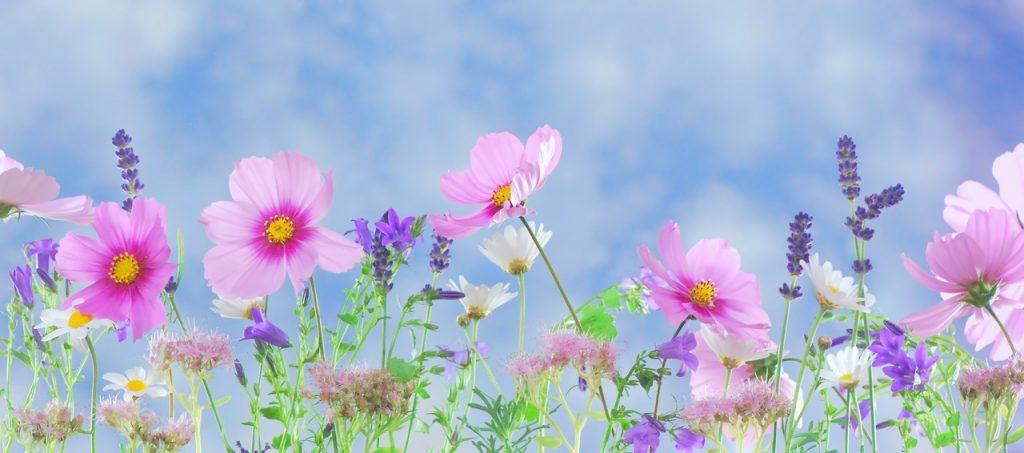 anemoni fioriti