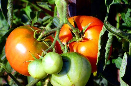 pomodori coltivati in vaso