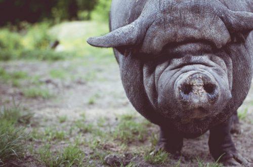 quando il maiale simbolo economia circolare