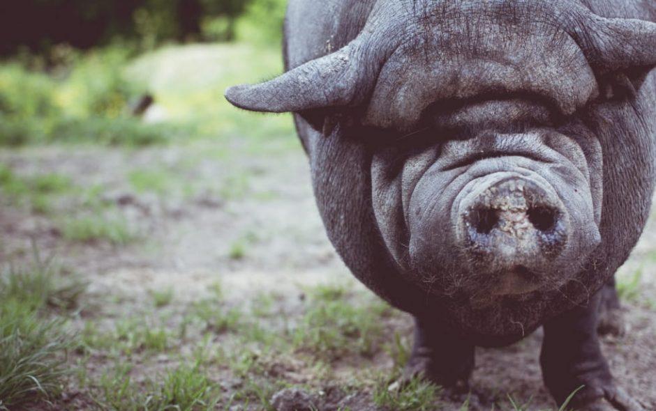 Quando il maiale era l'esempio dell'economia circolare