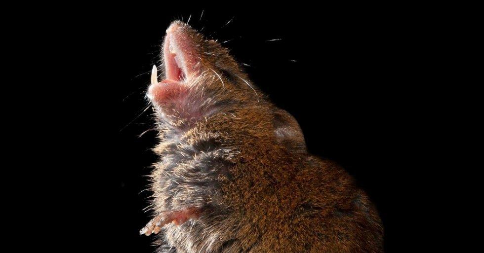 Topi canterini per imparare a parlare, una ricerca svela come funzionano i neuroni dei topi e potrebbe aiutare in casi di autismo o traumi