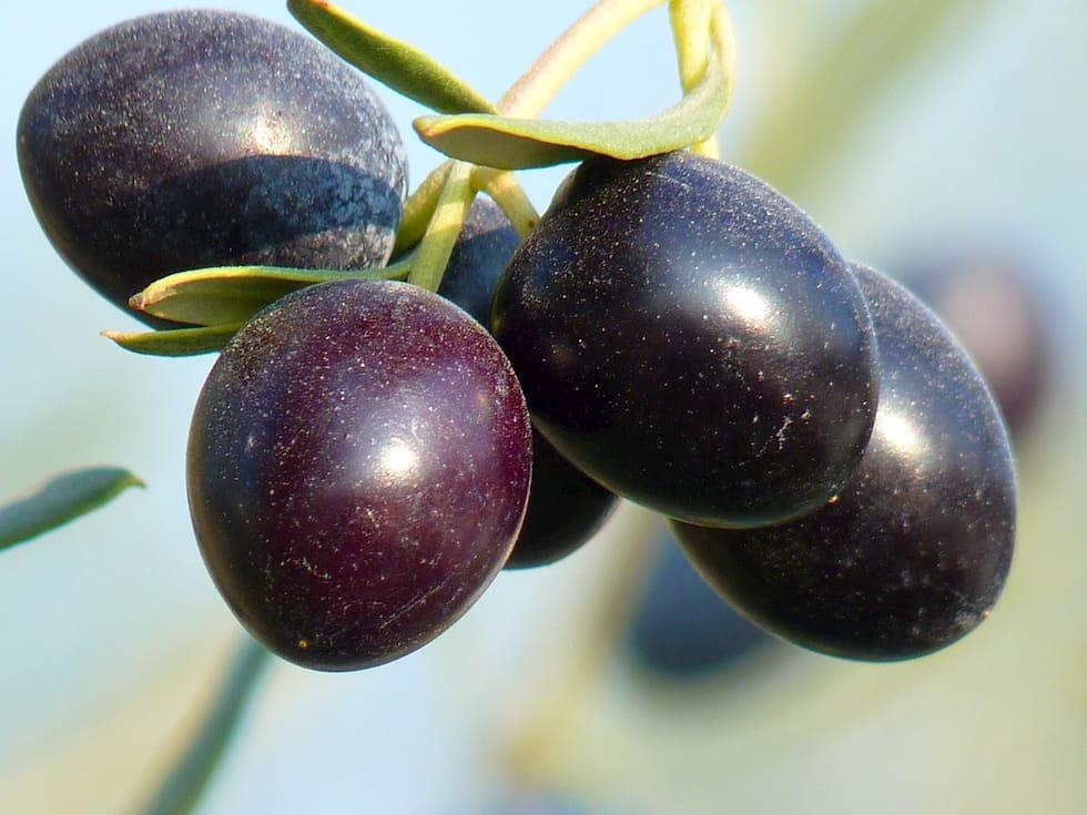 Olio d'oliva italiano da reinventare