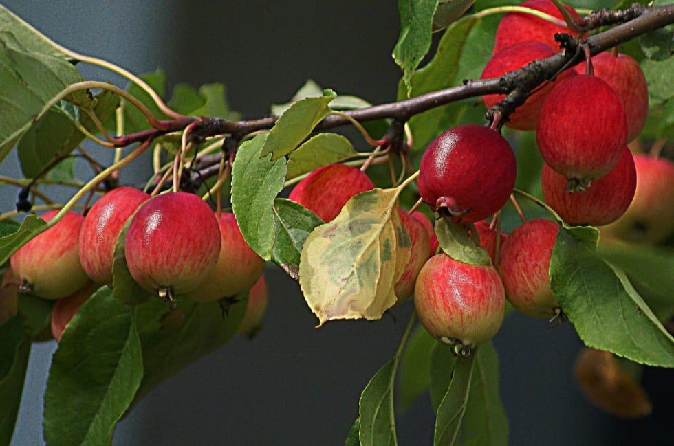 pianta un melo antico e salva il pianeta