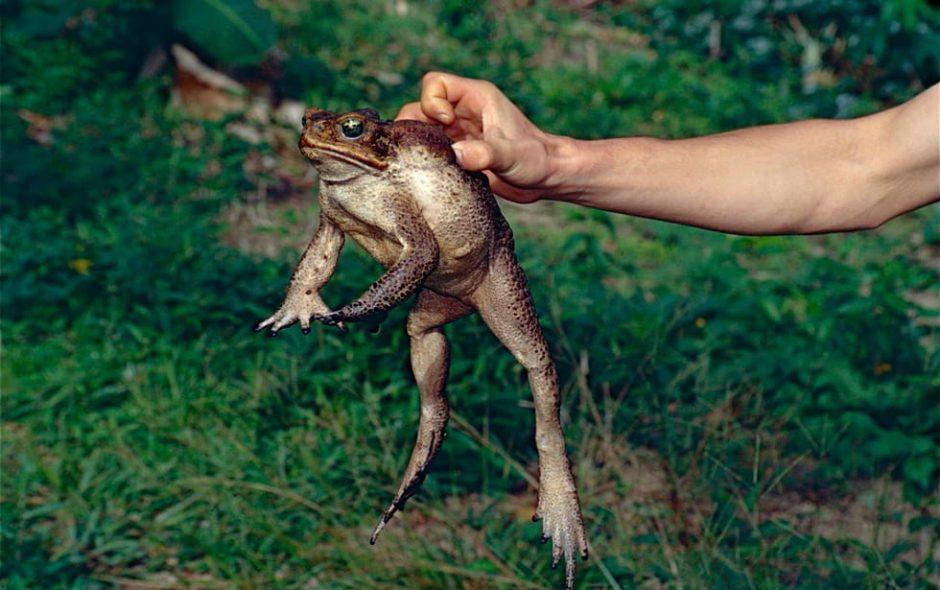Arriva l'invasione dei rospi velenosi