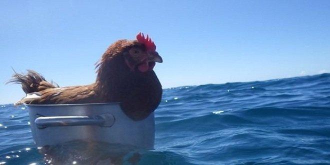 Monique la gallina che ama andare in barca