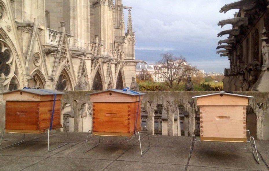 Sono sopravvissute le api di Notre Dame