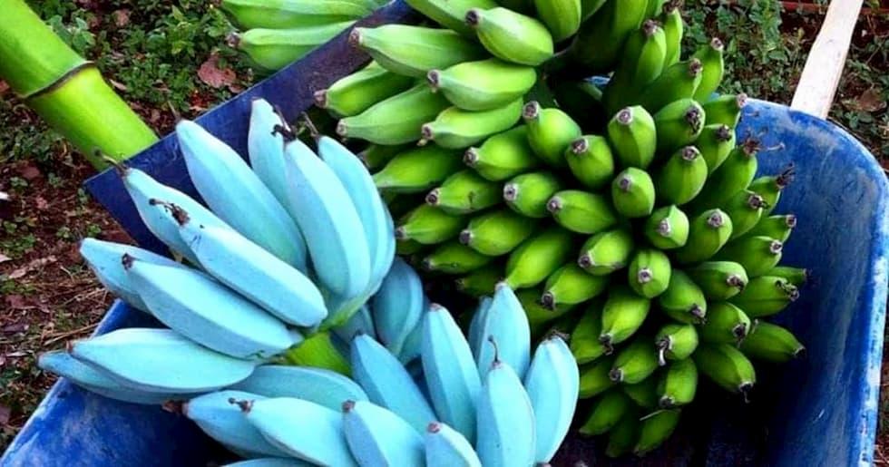 varietà banana blu