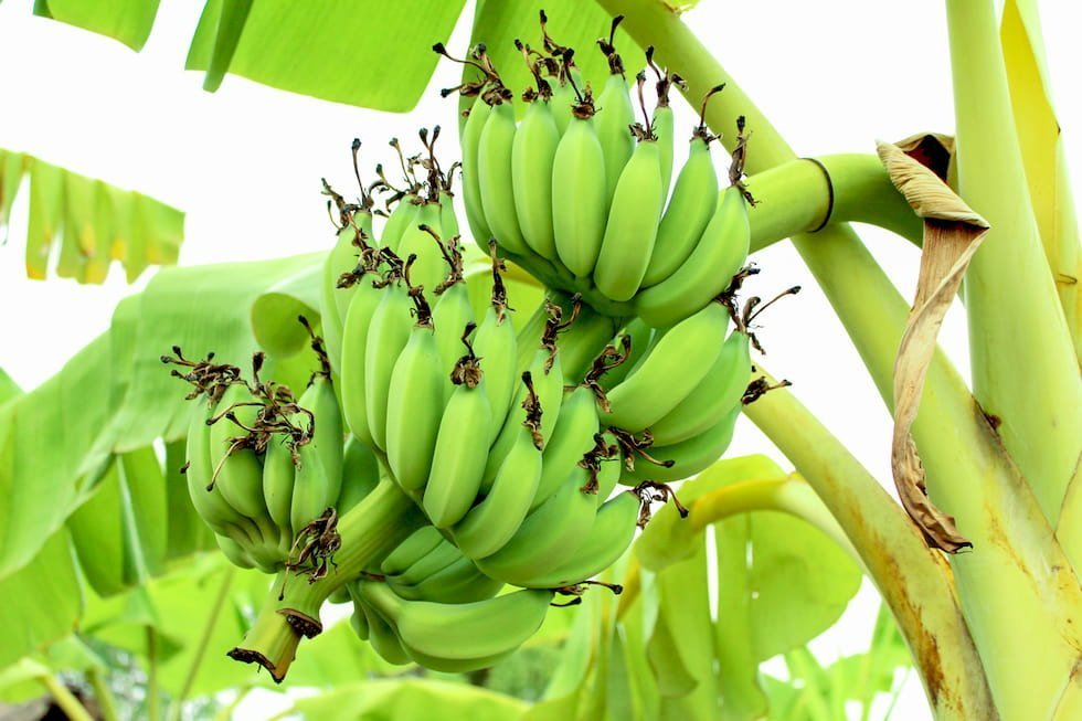 la banana minacciata da un epidemia