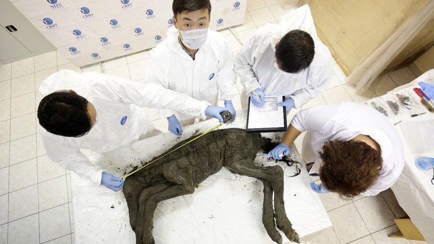 Stanno scongelando un puledrino di 42.000 anni fa