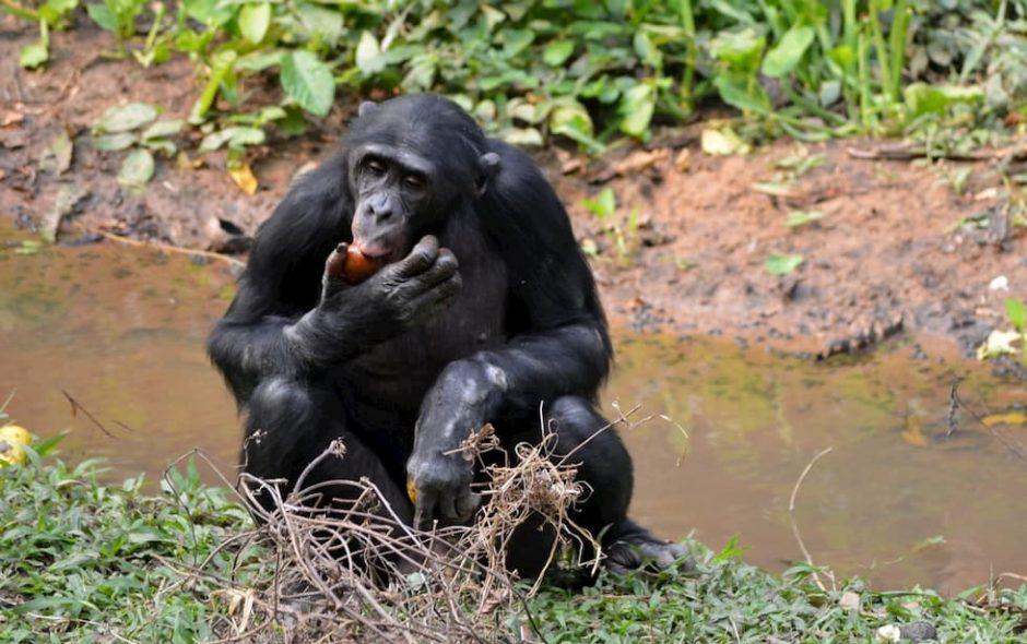 bonobo suocere sesso
