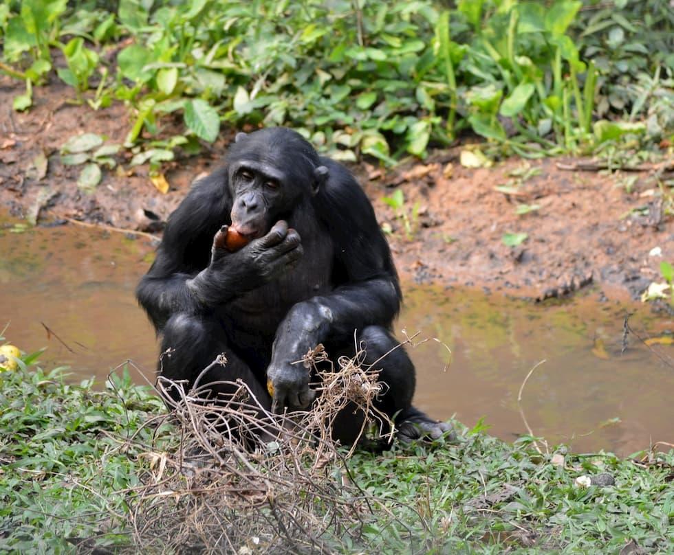 Bonobo le suocere impiccione