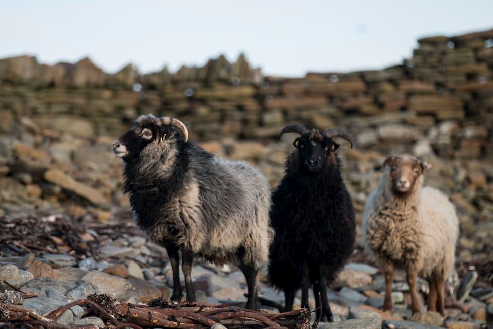 pecore mare alghe