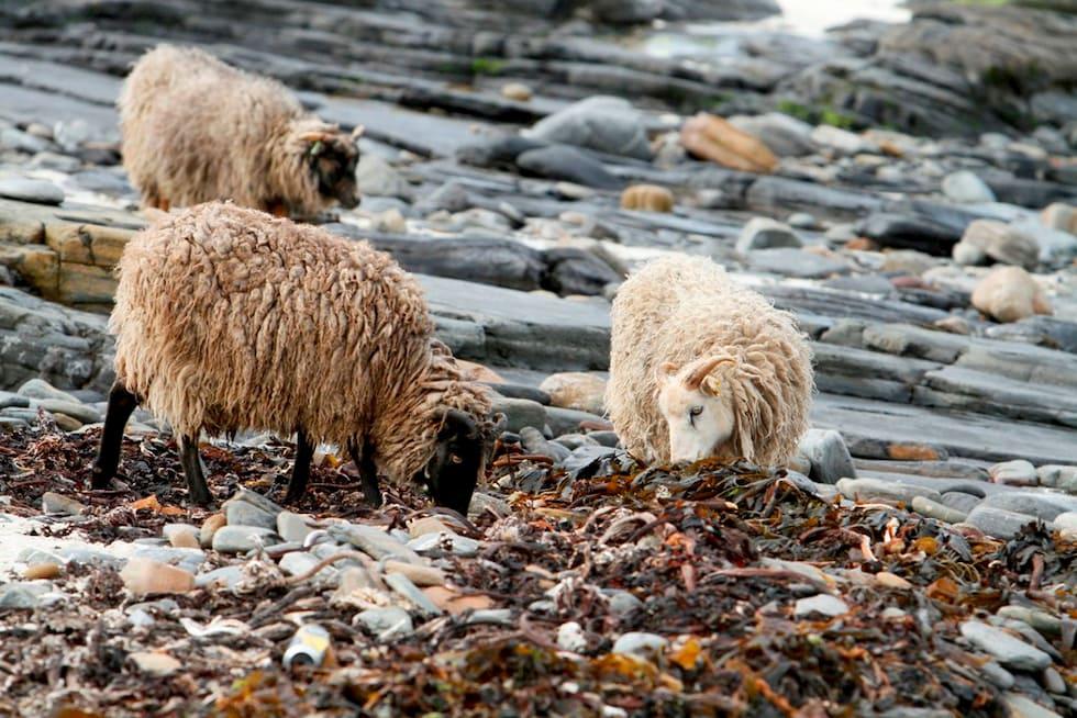 Le pecore di mare che si nutrono di alghe
