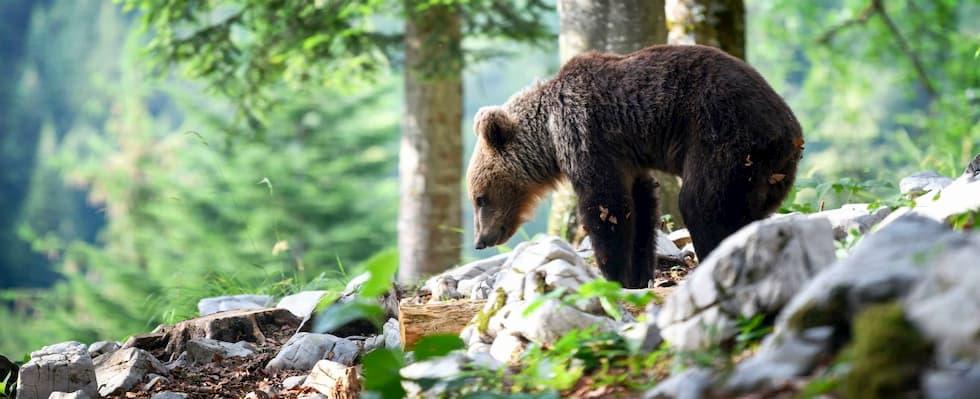 m49 orso fuga libertà