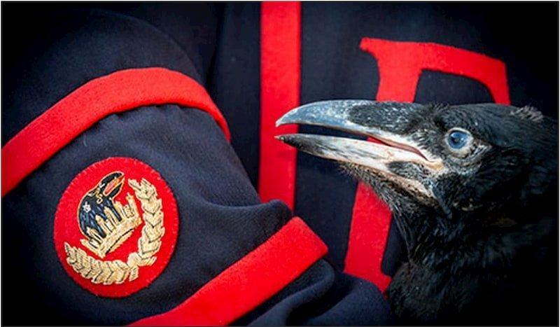 Il regno è salvo grazie ai corvi, sono nati 4 nuovi corvi neri alla Torre di Londra e la leggenda può continuare il suo corso