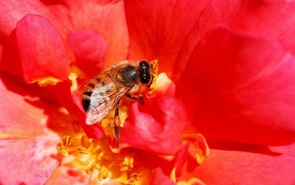 Anche le api con i problemi da micro-plastiche