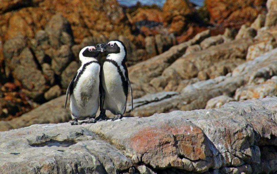 Due pinguini maschi covano un uovo