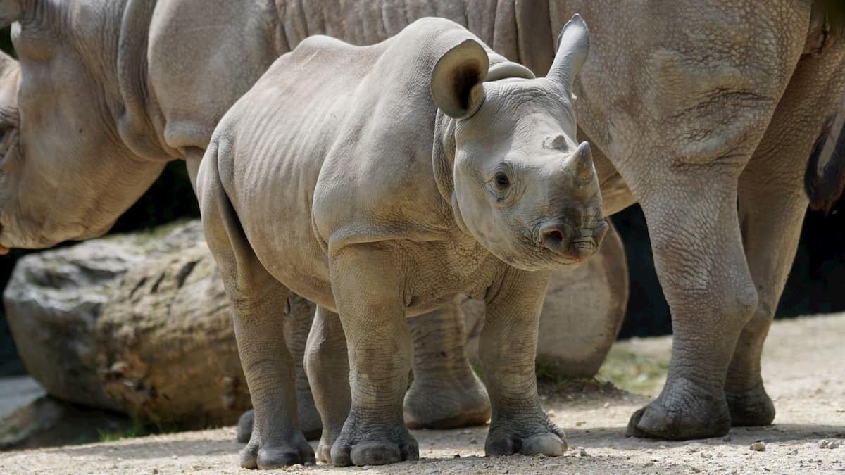 Due operazioni per salvare i rinoceronti