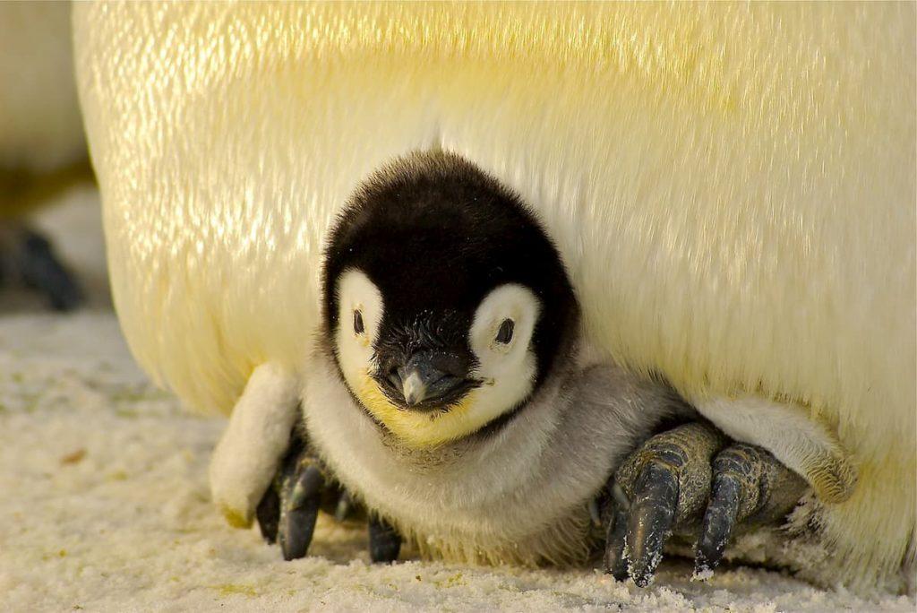 pinguini gay adozioni
