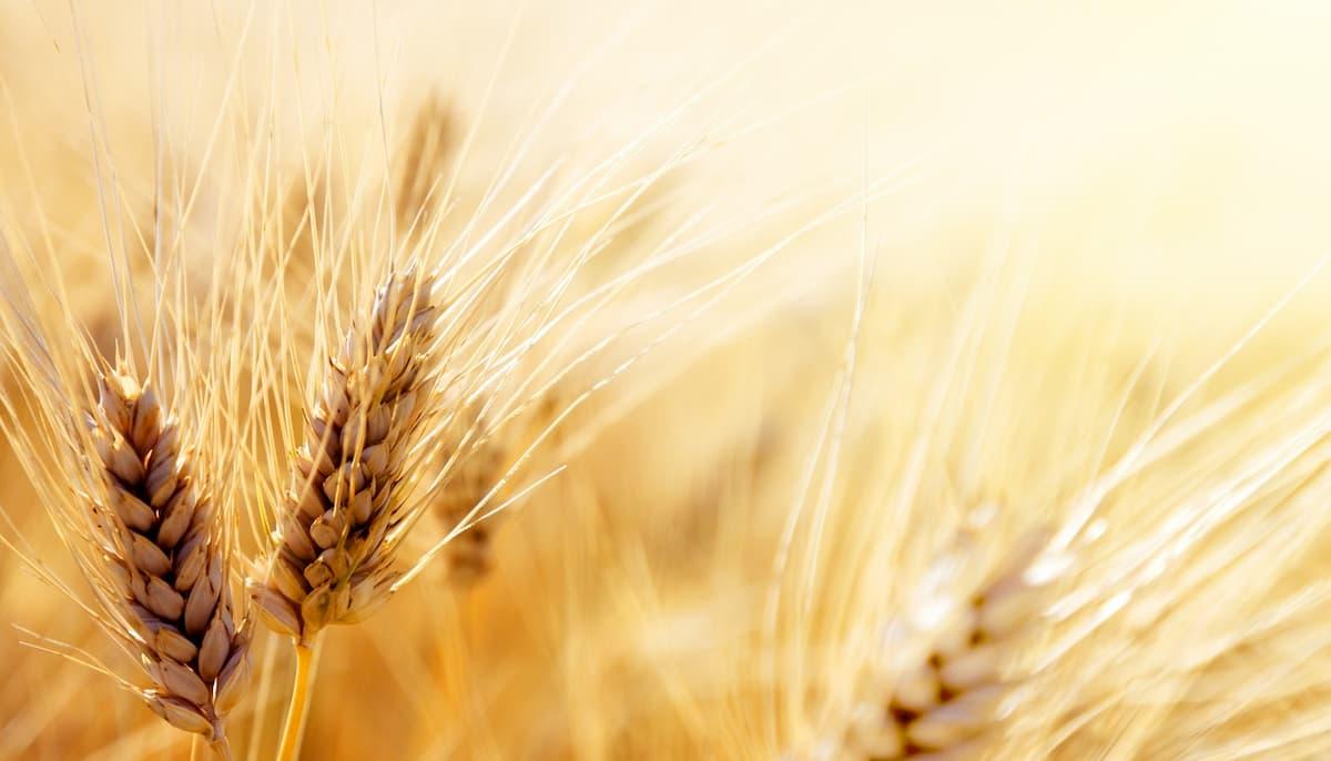 I grani antichi contro il senza glutine