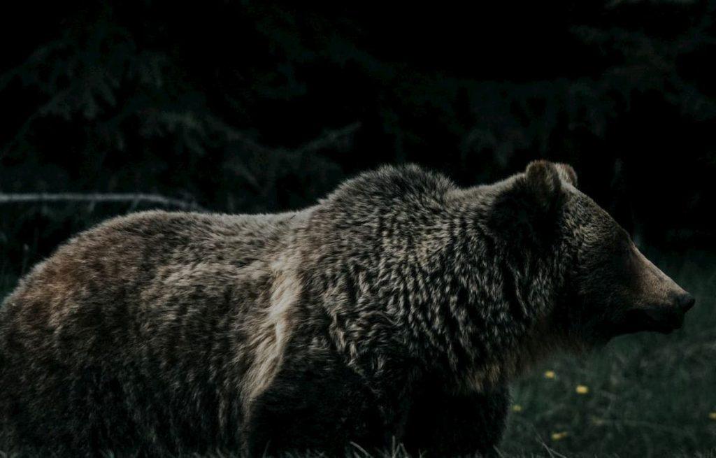 orsi delle caverne estinzione