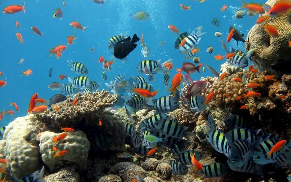 Dare la scossa risveglia i coralli
