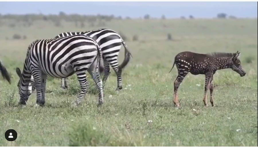 una zebra a pois in Kenia