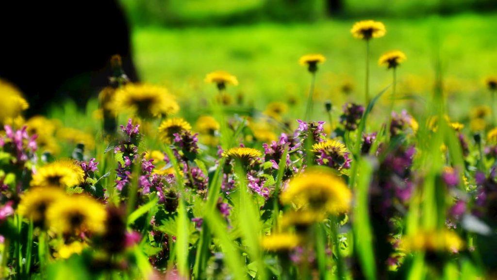 primavera splendida in Minnesota per le api
