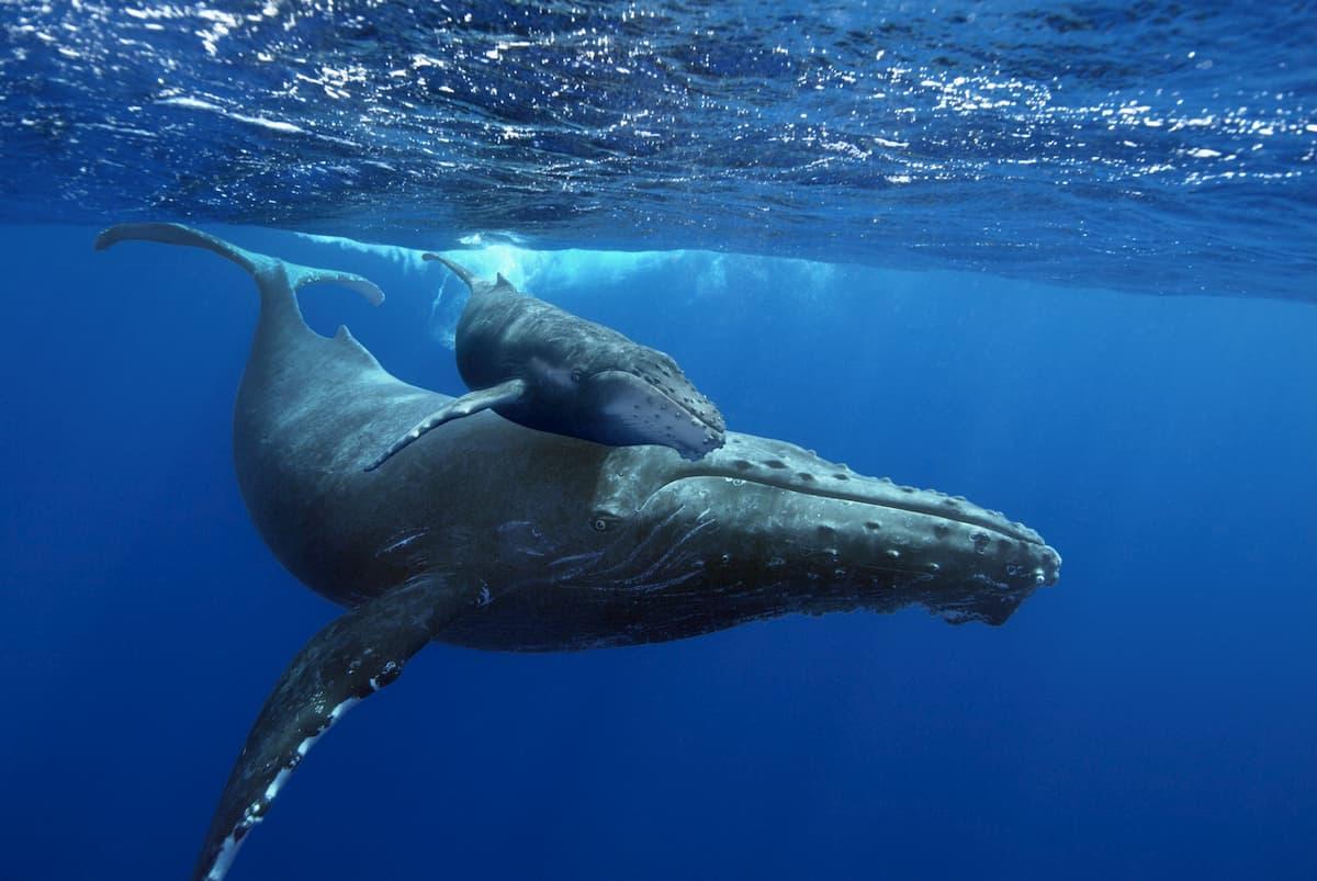 Dove vanno le balene gobbe a cantare