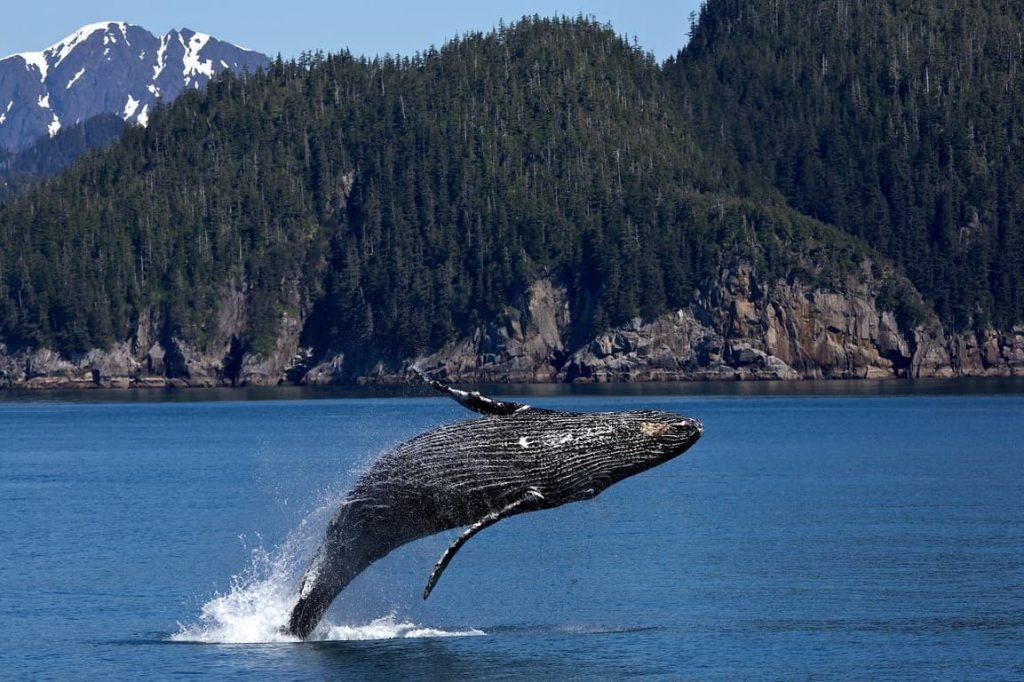 dove vanno a cantare le balene