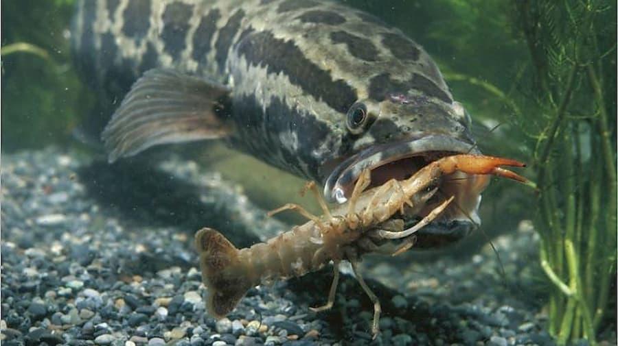 pesce serpente molto pericoloso