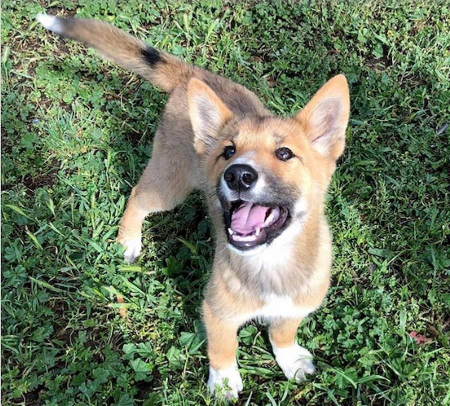 prezioso cucciolo di dingo australiano