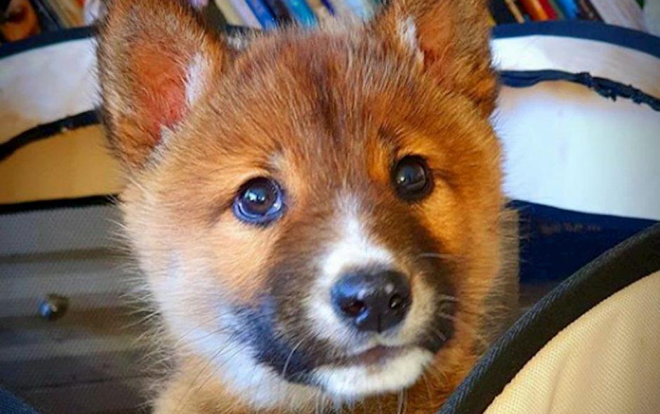 Wandi un prezioso cucciolo di Dingo australiano