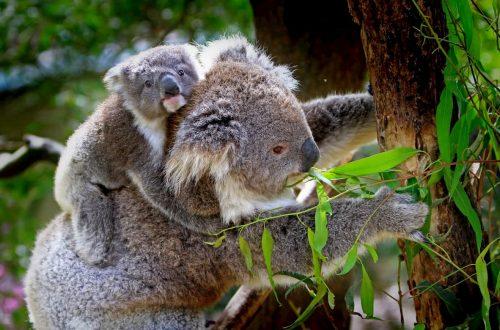 koala simbolo dell'Australia rischiano l'estinzione