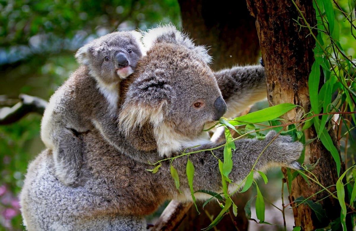 Il koala uno dei simboli dell'Australia rischia l'estinzione