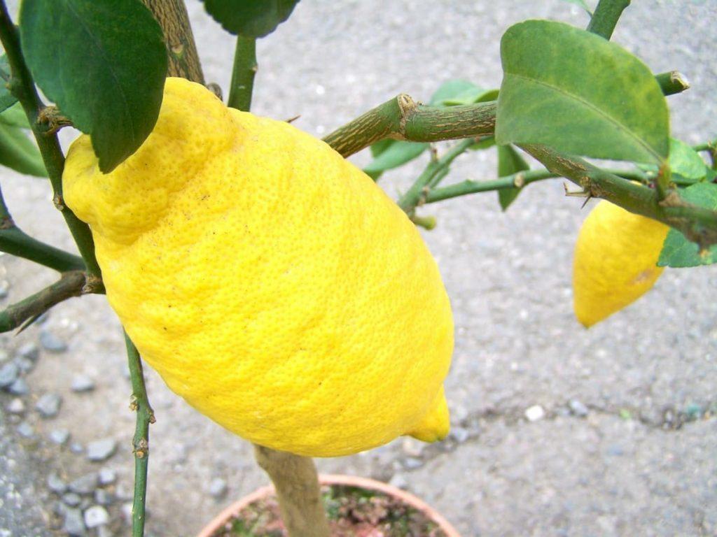 limone pregi e difetti di un frutto sempre amato