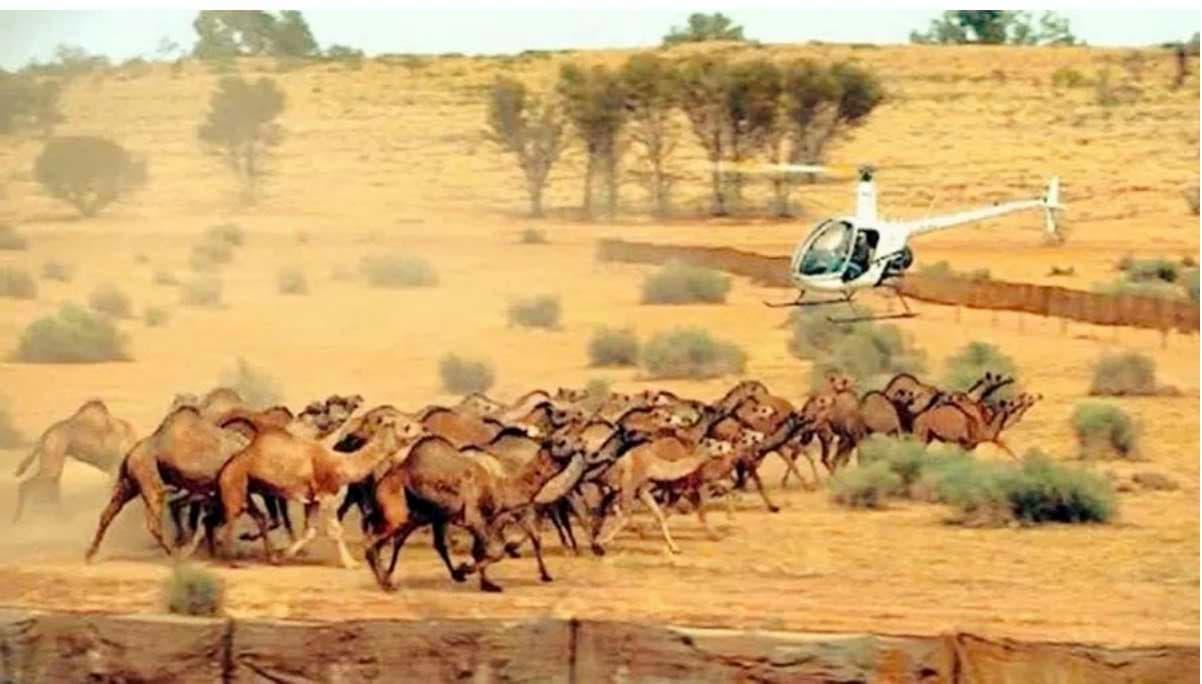 Continua la mattanza di cammelli selvatici