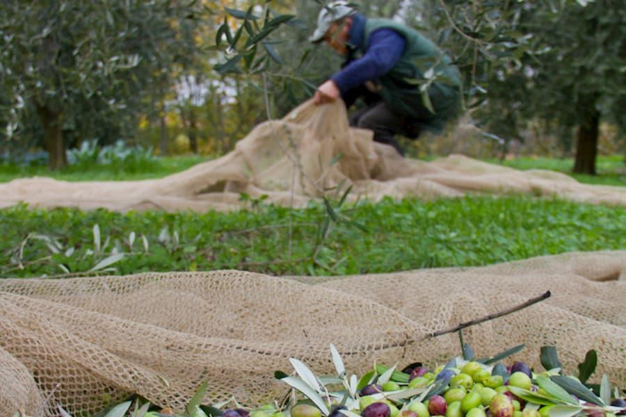 dell'olivo non si butta proprio nulla