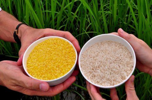 riso ogm sdoganato nelle Filippine