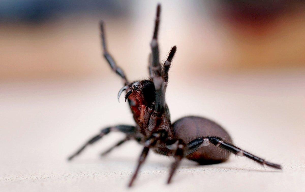 Ragni velenosi alla ricerca di compagne in fregola