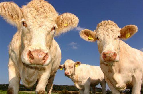 spariranno le vacche