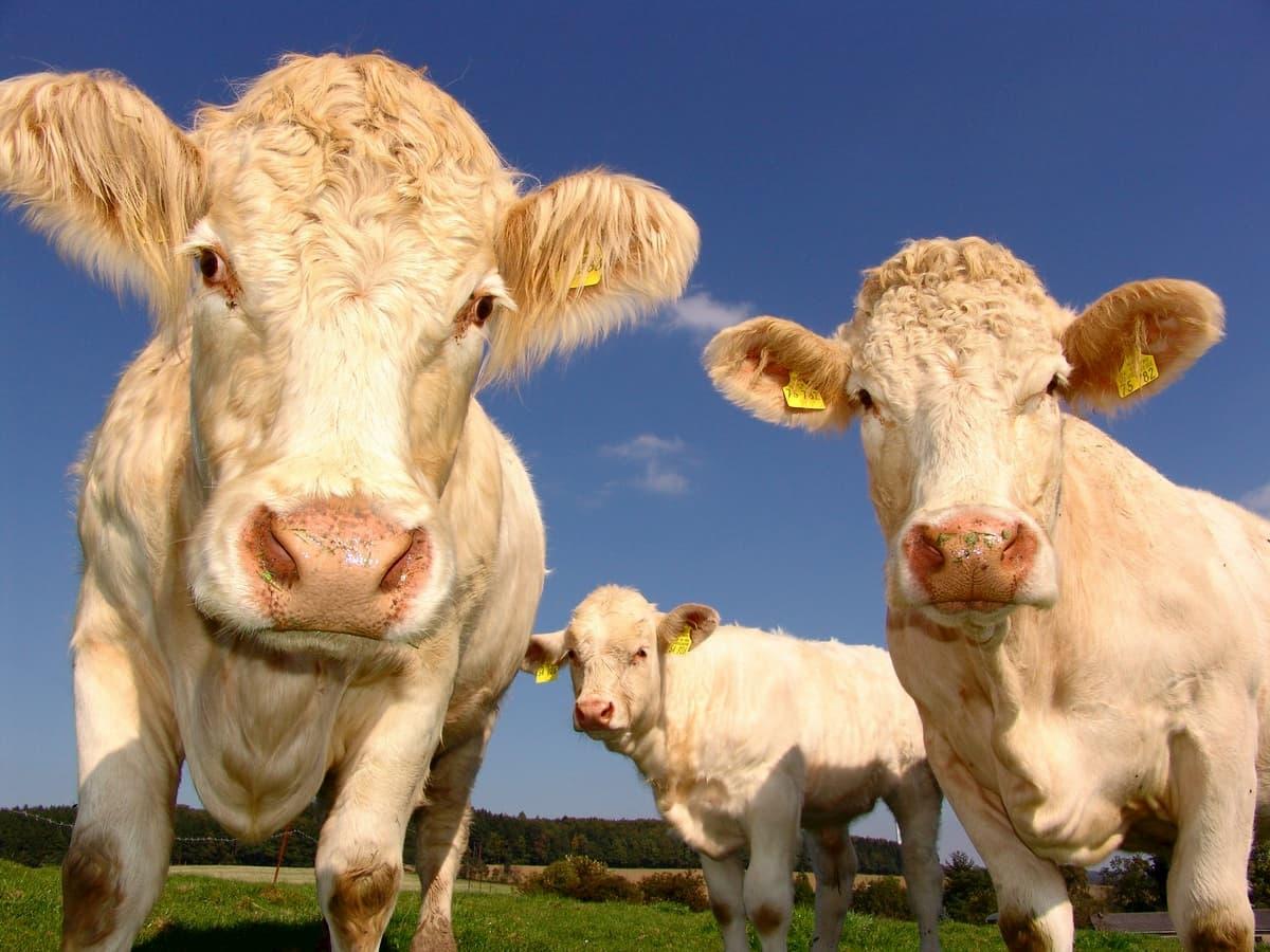 Spariranno le vacche?