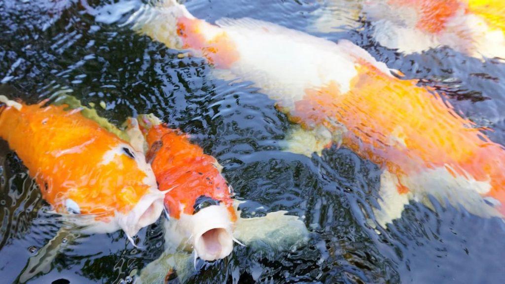 pesciolino rosso non liberatelo