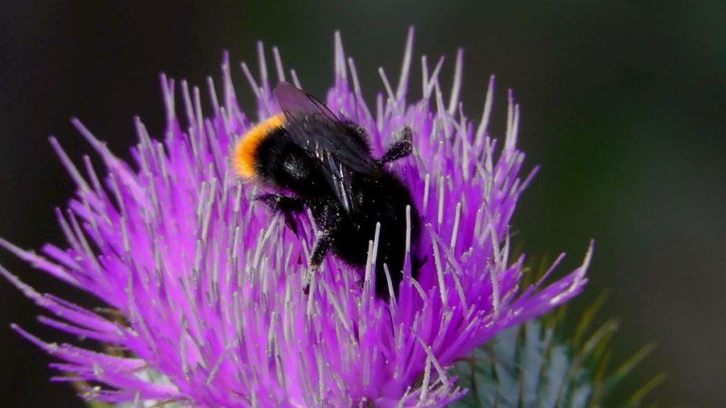 salviamo le api con la marijuana