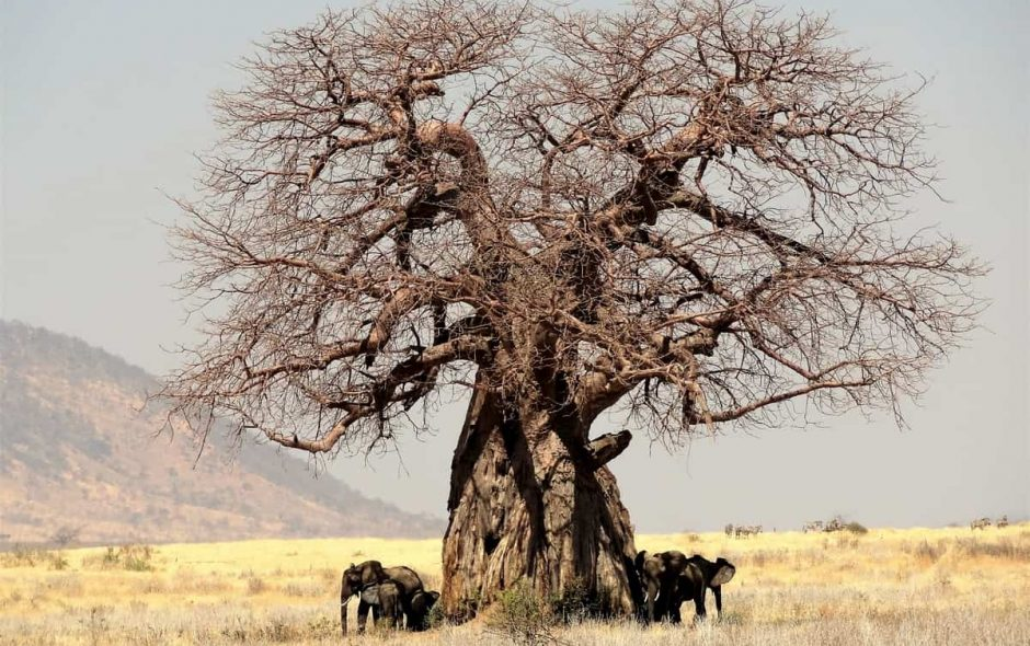 Baobab cosa sta succedendo, perché muoiono?