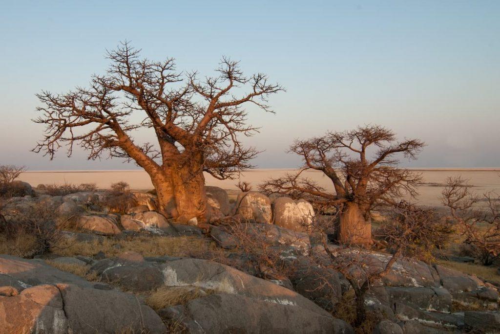baobab cosa sta succedendo perché muoiono