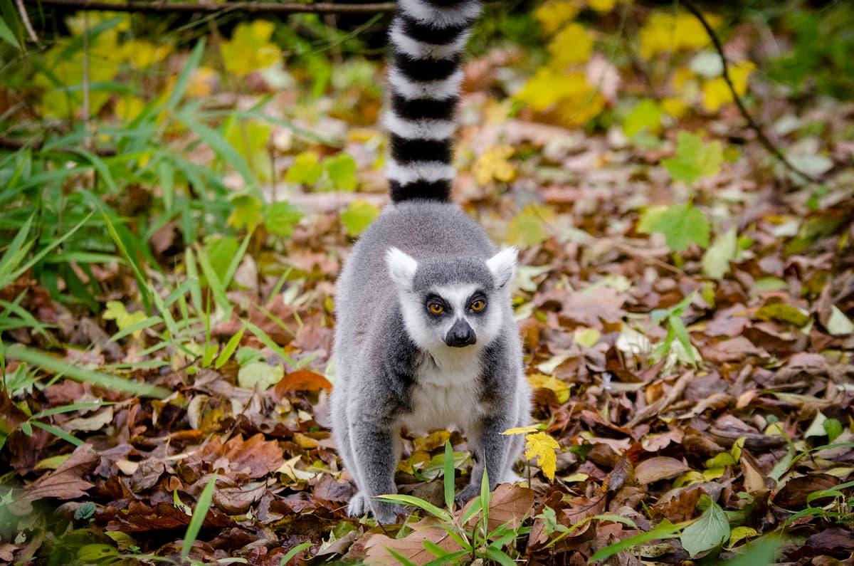 Sedurre col profumo? Lo fanno anche i lemuri